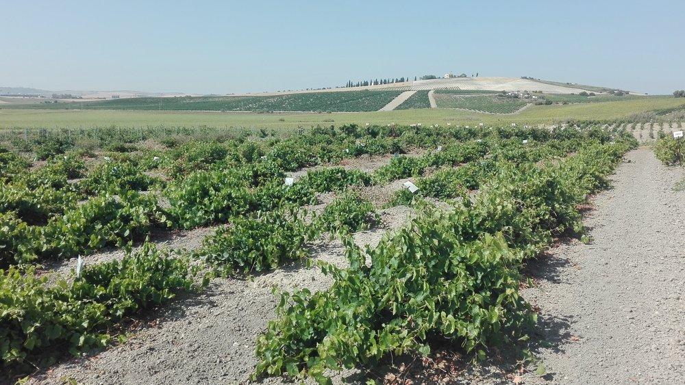 viñas  (6).jpg