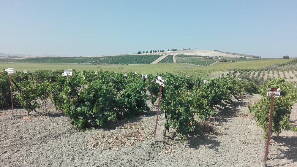 viñas  (7).jpg