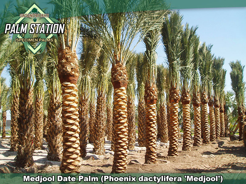 Groundworks Medjool Date Palm Tree