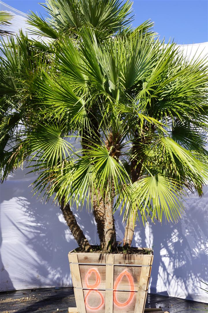 Palm Number: 80