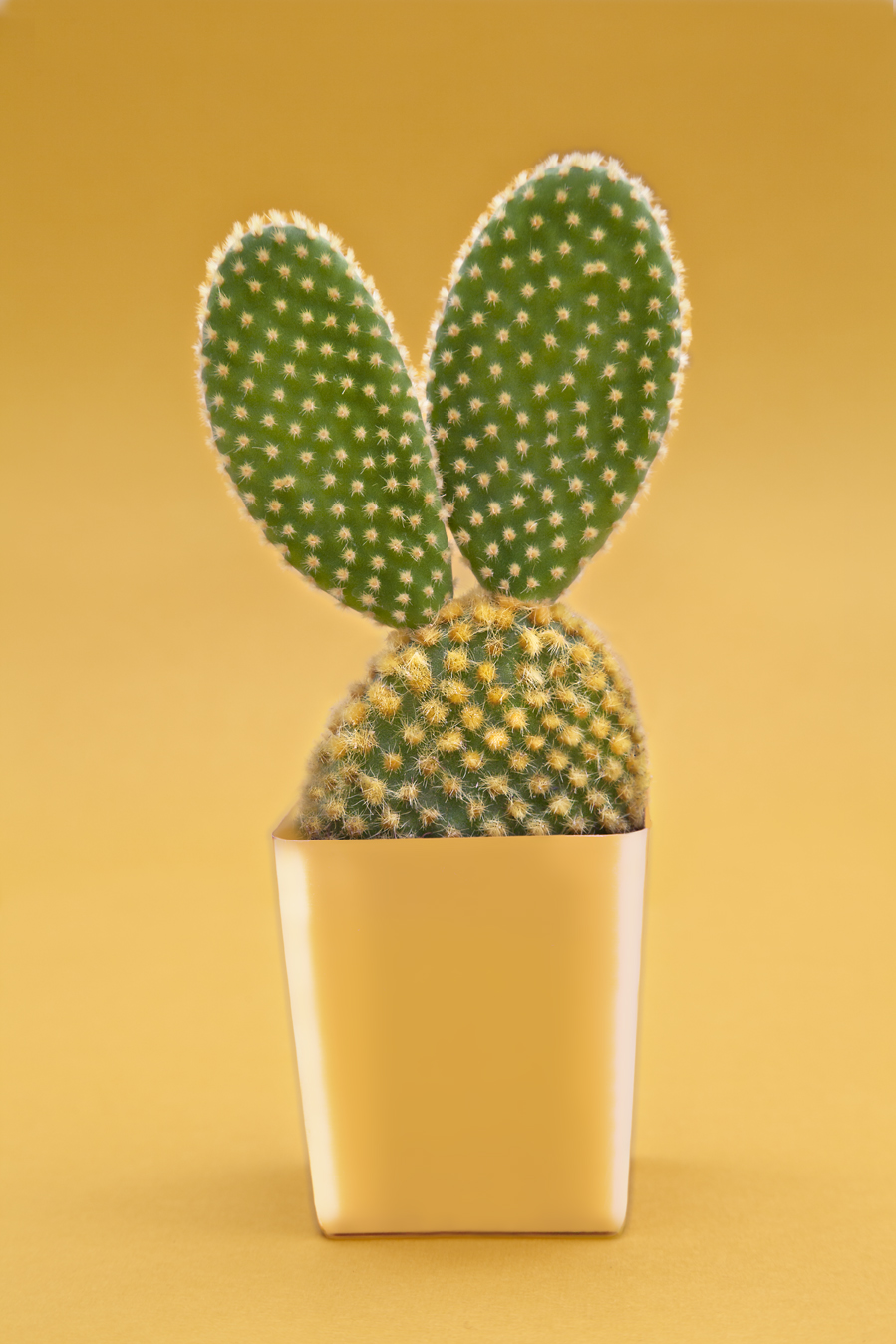 BeccaEwing_Succulents_Ears.jpg