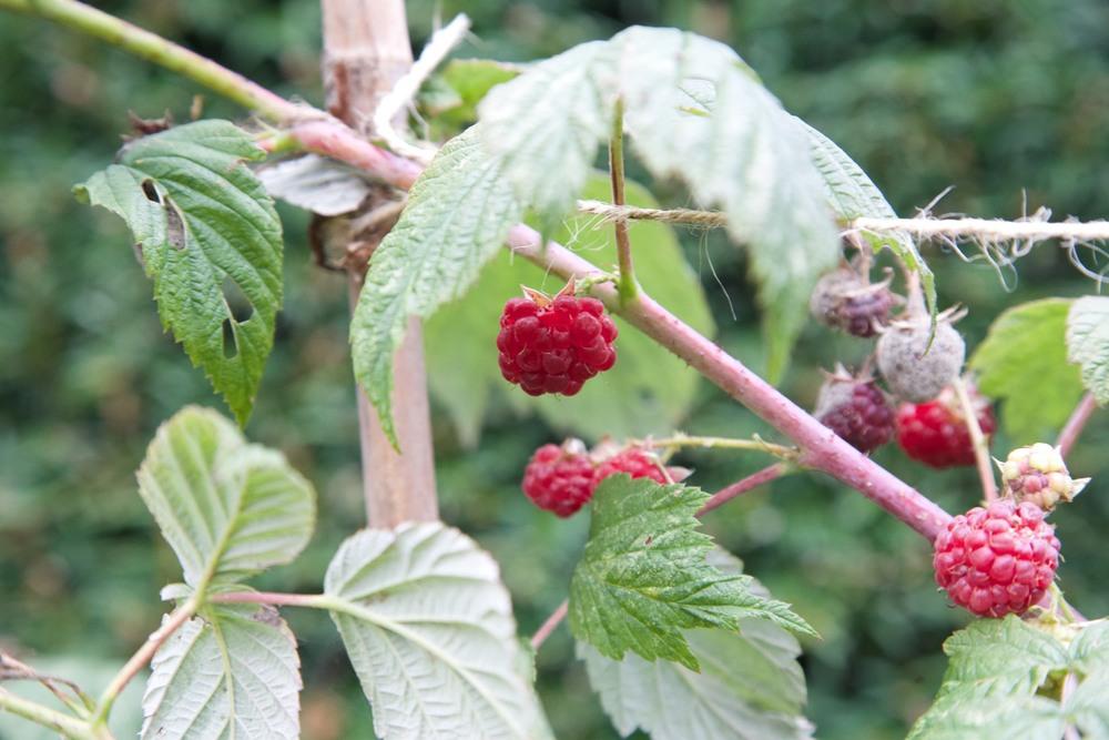 logan berries
