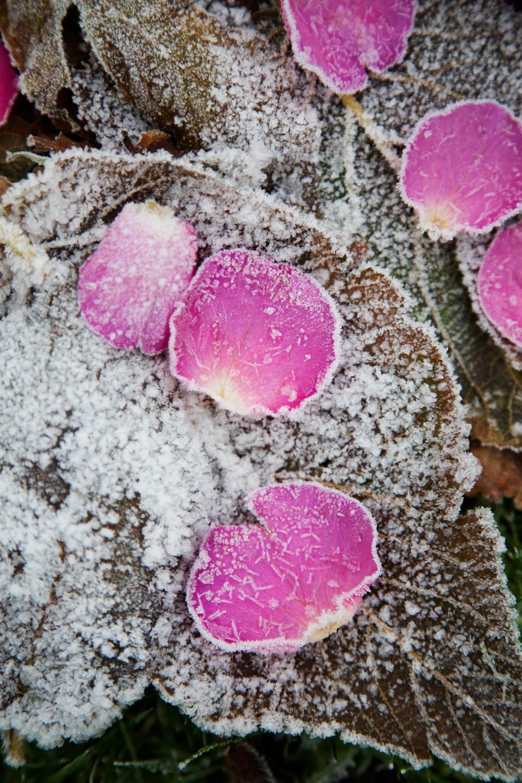frosty petals