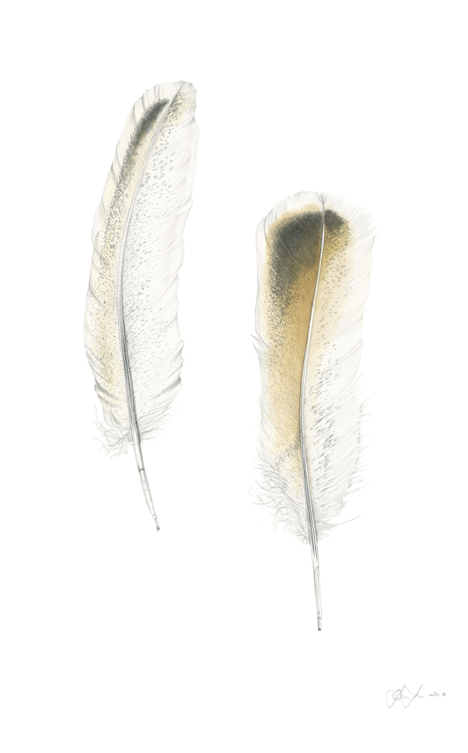 Wing Feather White Peacock feathers.jpg