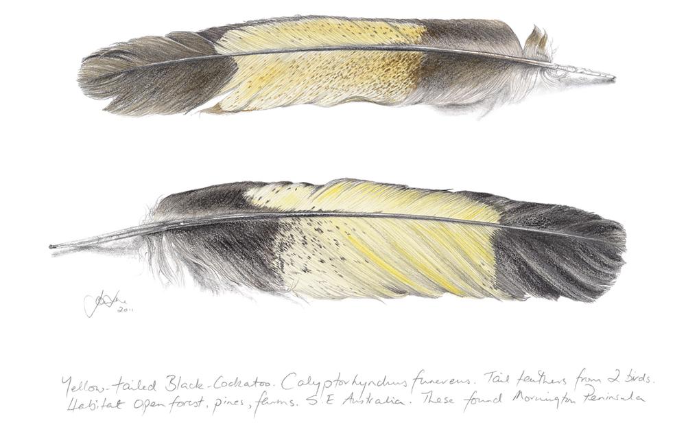 Yellow Tailed Black Cockatoo for web.jpg