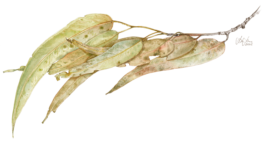 gum leaves watercolour.jpg
