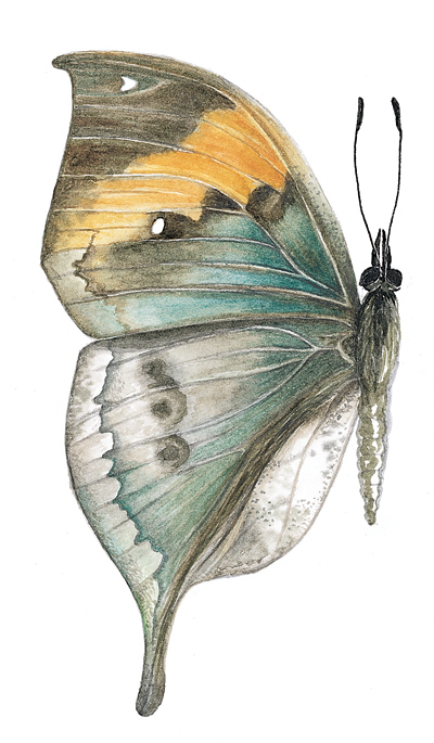 leaf wing butterfly