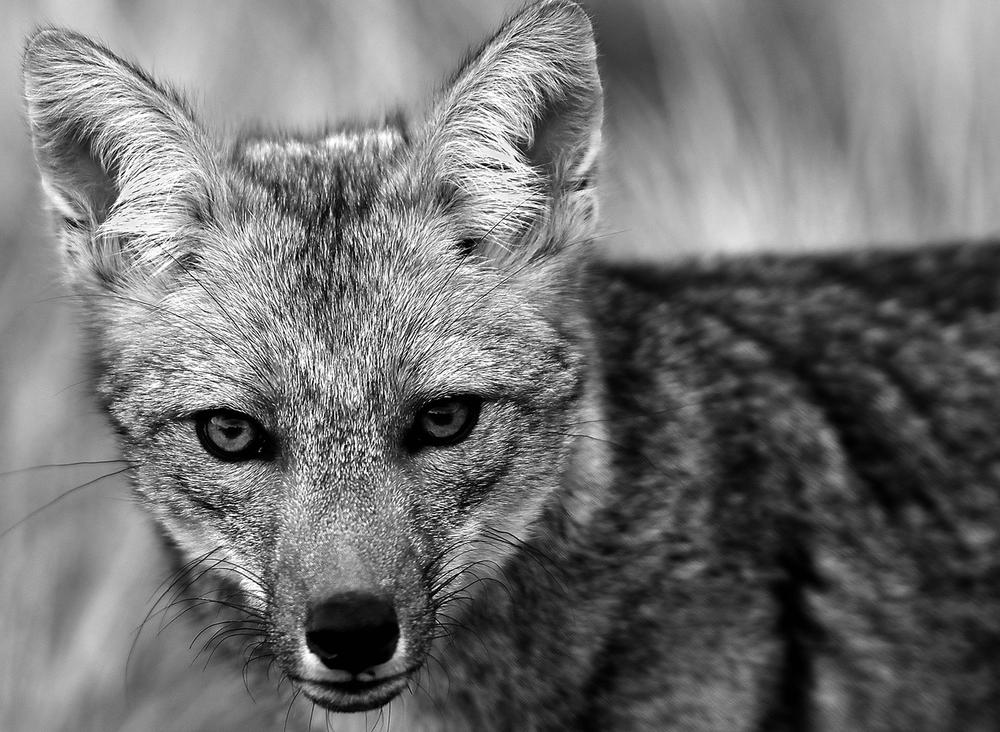 fox-1500.jpg