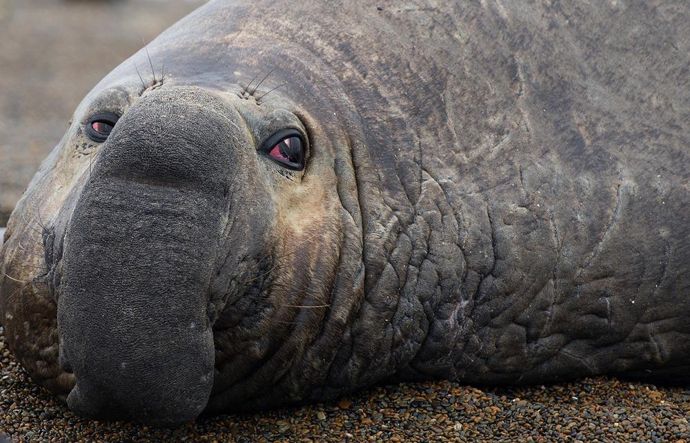Elephant-Seal-1500.jpg