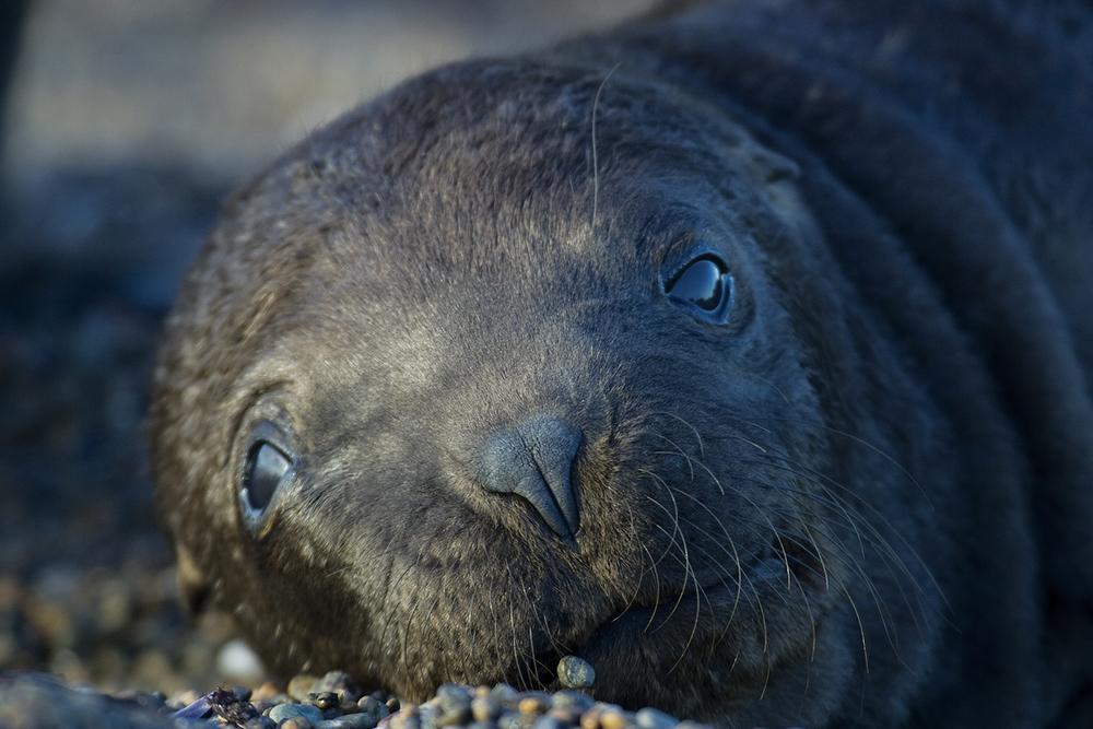 sea-lion-pup-face-1500.jpg
