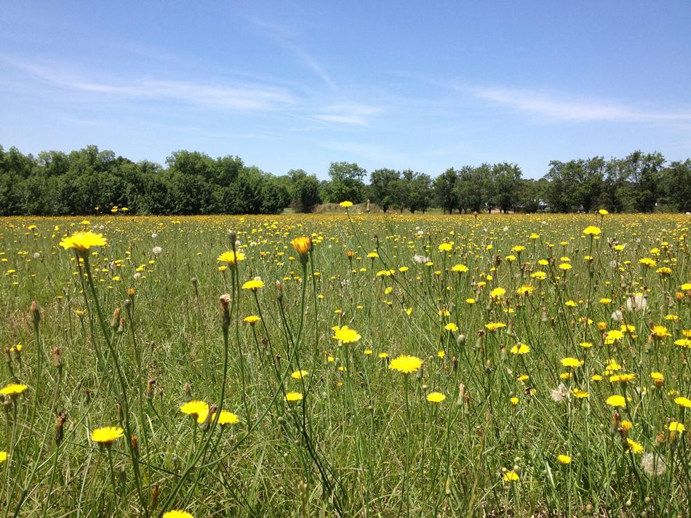 Field of Dandelion Flowers in Houston County, Georgia