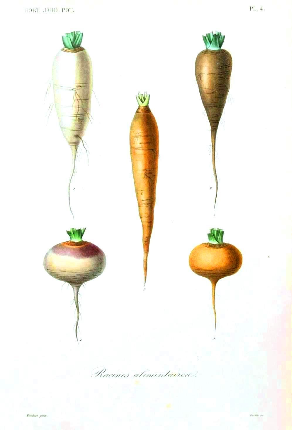 Botanical%20-%20Root%20vegetables%204.jpg