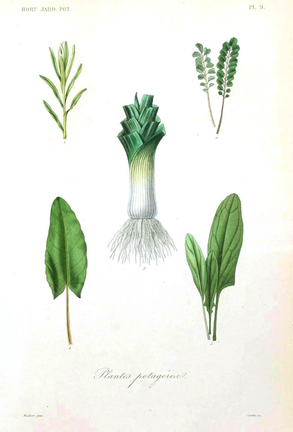 Botanical%20-%20Vegetables%201%20-%20Leek.jpg
