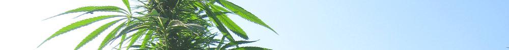 one hemp plant in feild and sky