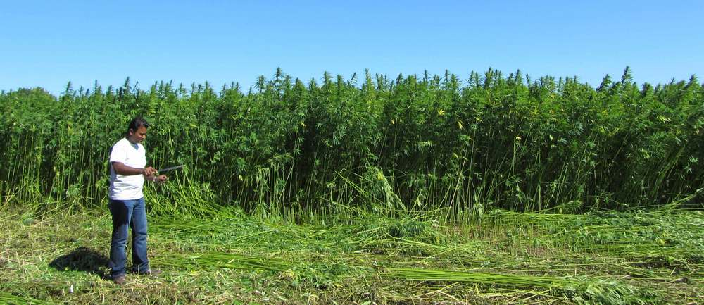 Manual hemp harvest - cleaning the hemp stalk from side shoots and leaves