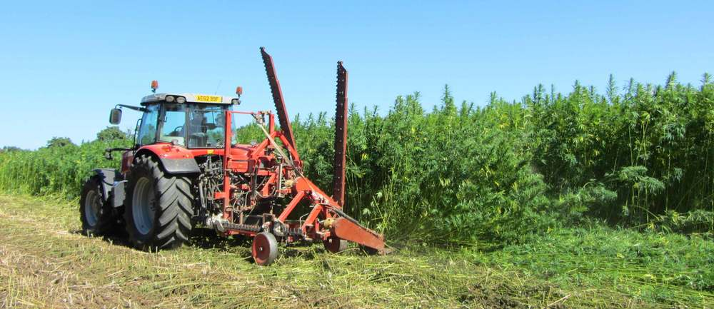Mechanical hemp harvest - cutting the stalks at their base to preserve their integrity