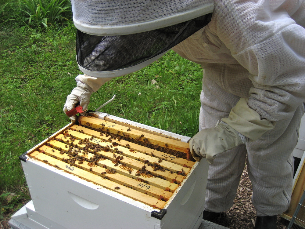 Laura uses her beekeeper tool to loosen the frames from the hive box.
