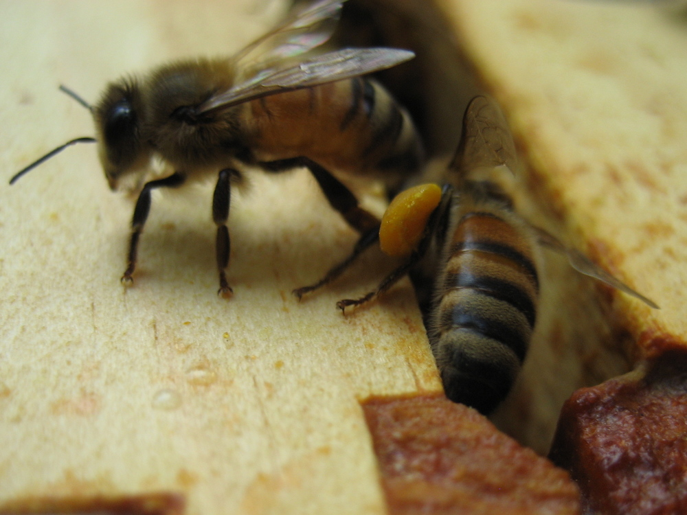 "Here you can see gold colored pollen packed into the ""pollen basket"" on the bee's leg.  This is how the bees carry the pollen they gather back to the hive.  Pollen is a protein source for the honeybees."
