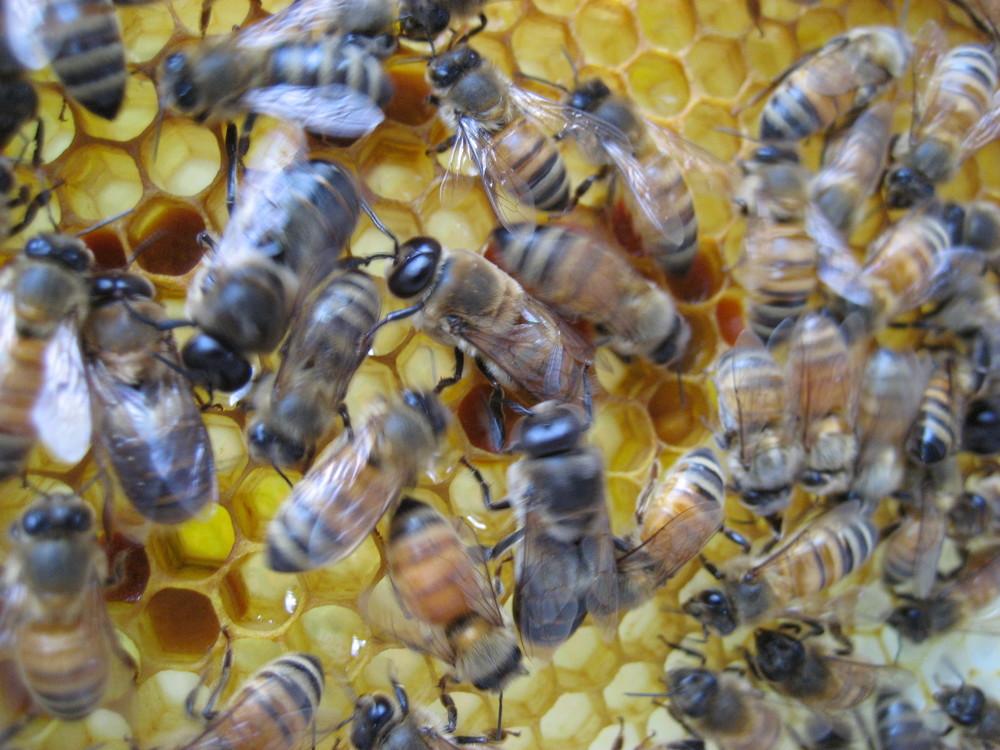 Hard working Hillendale honeybees!