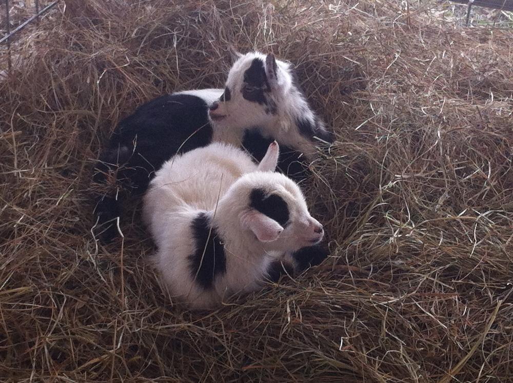 baby-goats.jpg