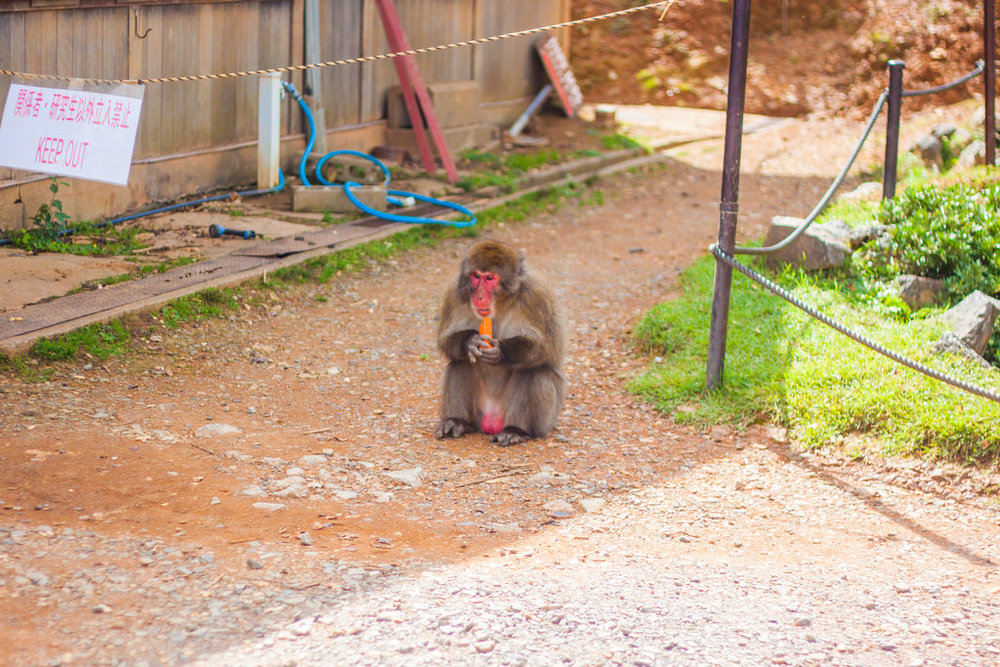 What you Need to Know Before Visiting the Iwatayama Monkey Park in Arashiyama