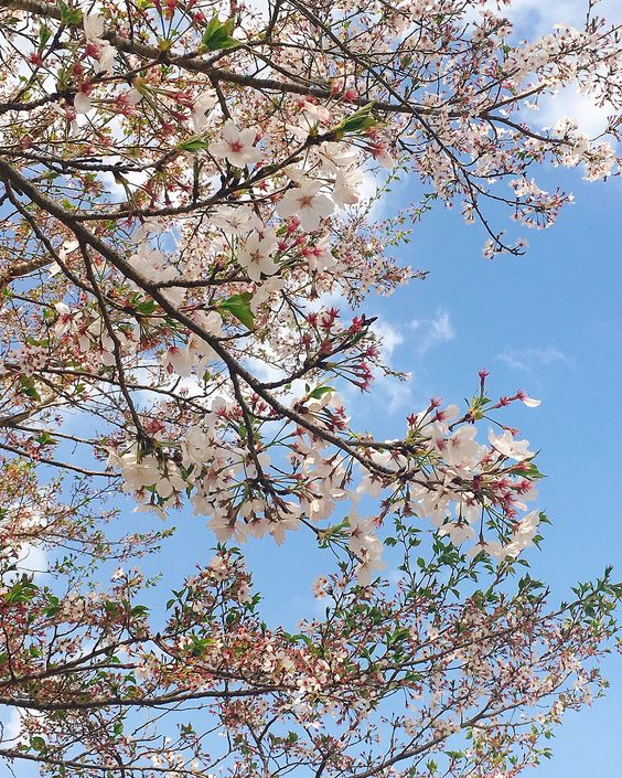 Best Places to Experience the Cherry Blossoms in Japan