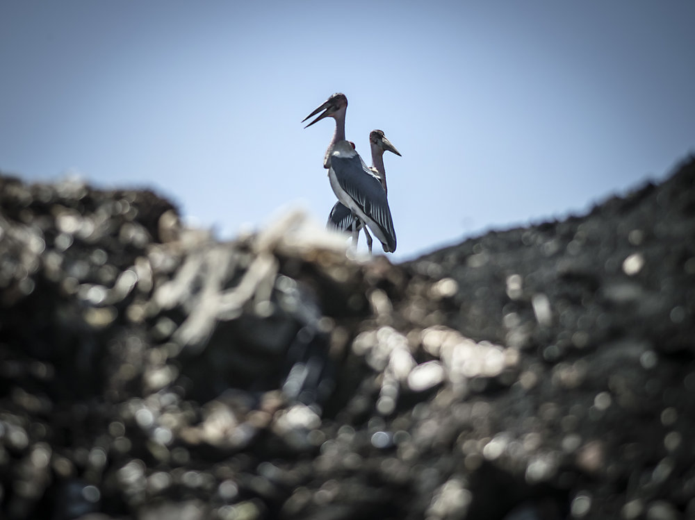 Marabou storks. Jinja dumpsite.