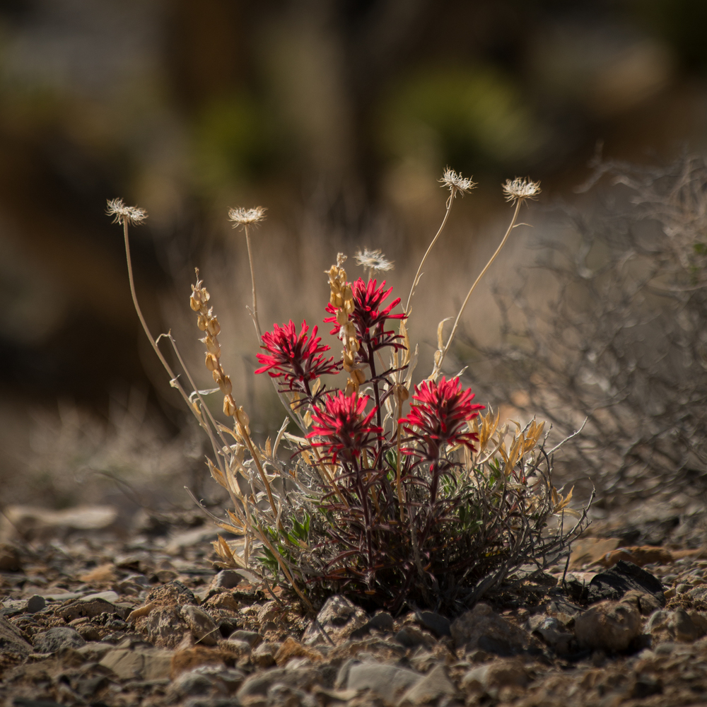 Indian paint brush  (Castilleja) .