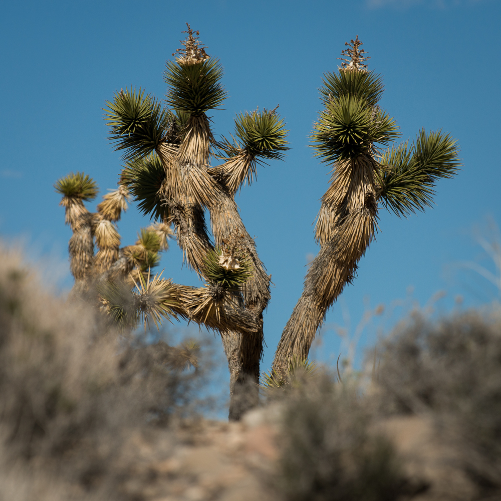 Joshua Tree, the signature tree for the Mojave Desert.