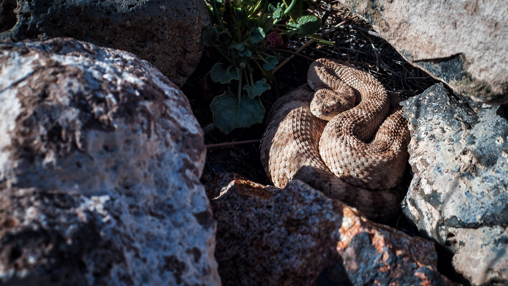 "A sidewinder rattlesnake (Crotalus cerastes) found during a ""clean up the desert"" event in a pile of rocks."