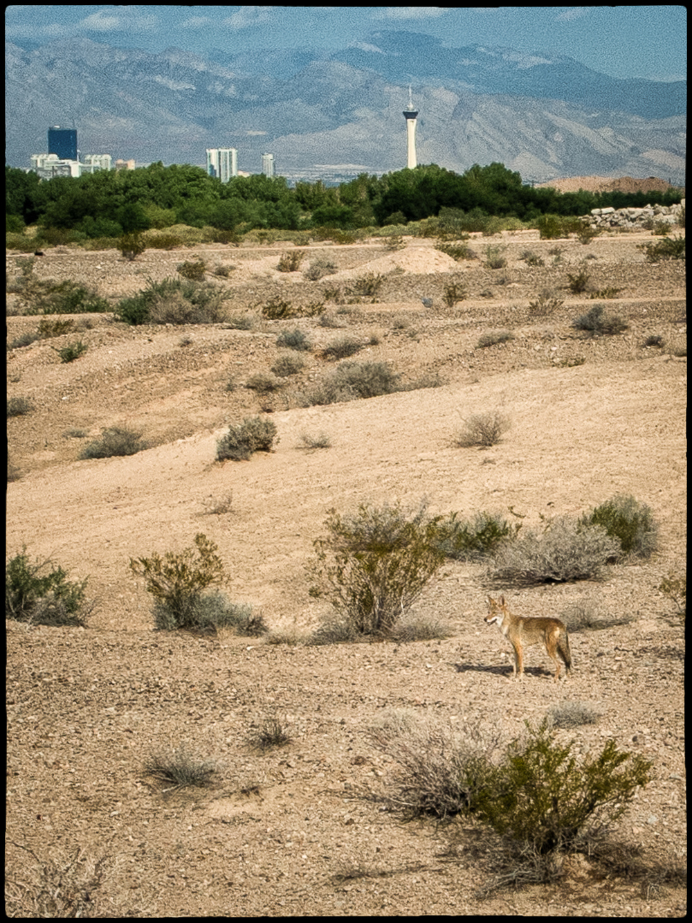 If you go early, look for coyotes.