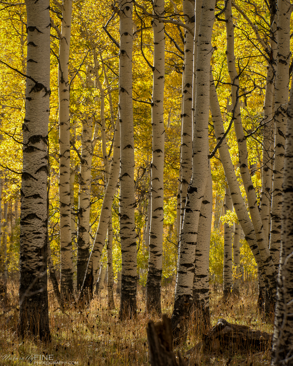 Hundreds of old aspen groves ignite the rolling hills with hues of bright yellow and goldenrod.
