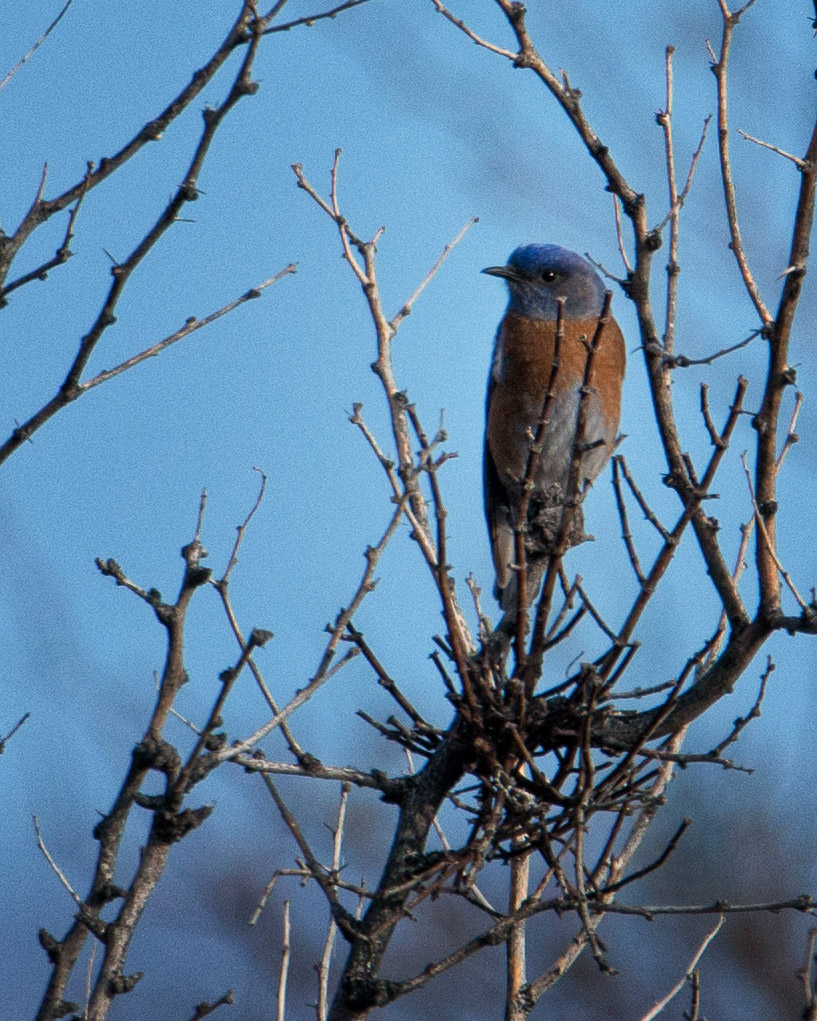 Western bluebird male watches over the other females nearby.