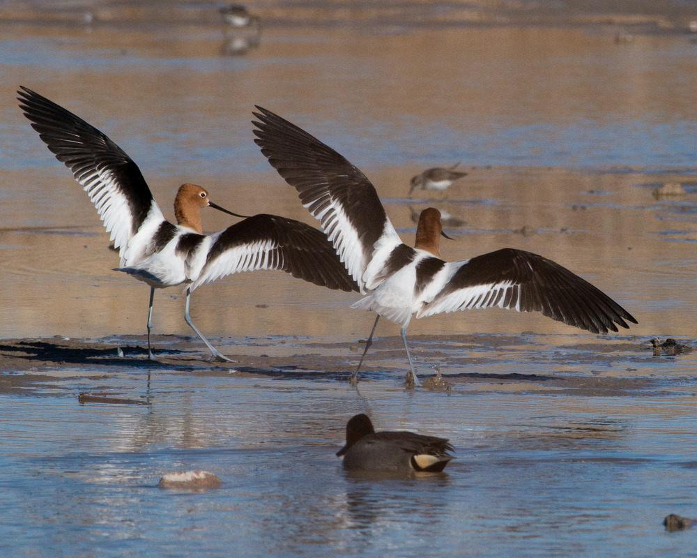 American Avocet dancing in a partially drained pond near the Duck Creek Trail Head at the Clark County Wetlands Park in Las Vegas, Nevada.