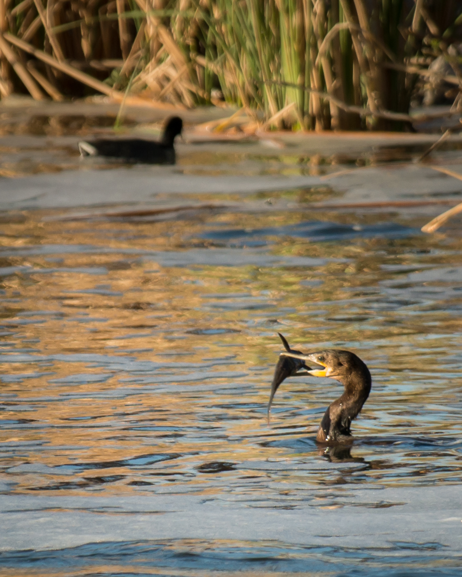 A Double-crested Cormorant catching lunch downstream of the Las Vegas Wash bridge.