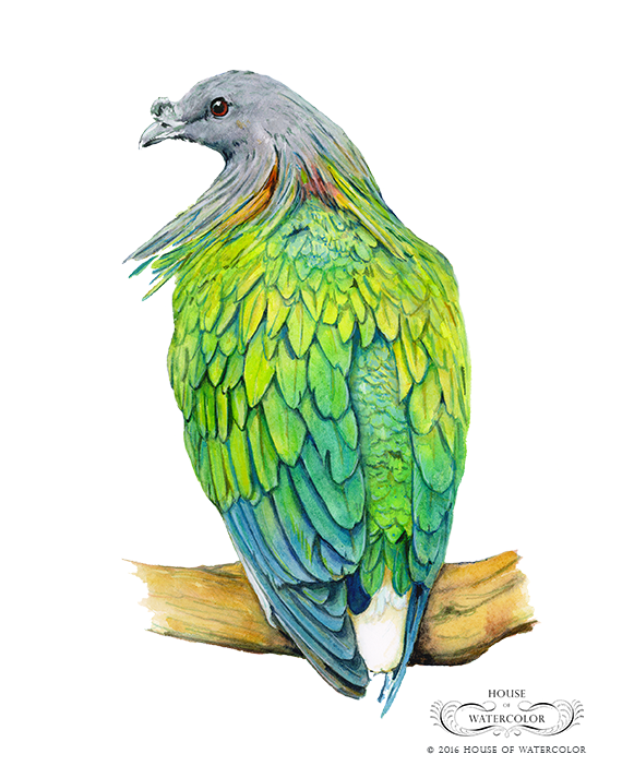 House-of-Watercolor---Nicobar-Pigeon-Portfolio.png