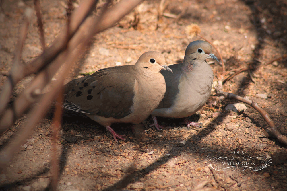 mourning-Dove-Pair.png