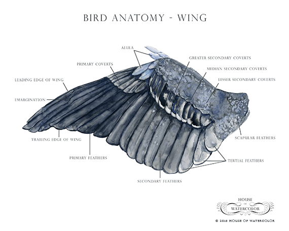 Bird Anatomy - Wing — House of Watercolor