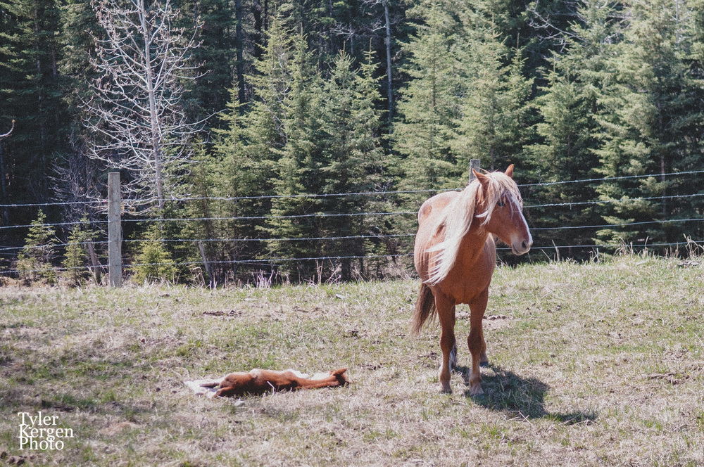 Wild Horses @ Kananaskis, AB