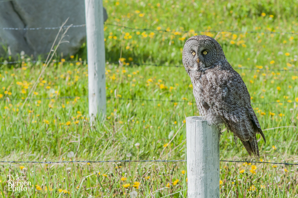 Great Grey Owl @ Water Valley, AB