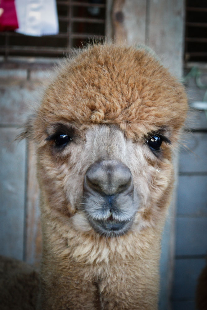 Sweet alpaca face