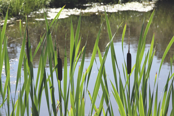 cattails-IMG_7527.jpg