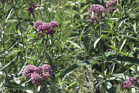 joe pye weed, meadow