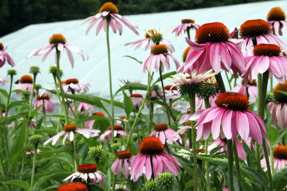 echinacea in bloom, 2014