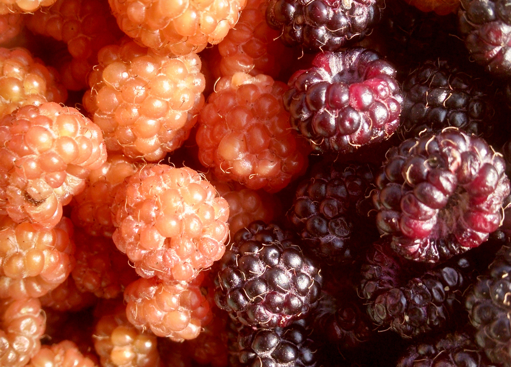Yellow Black Raspberries & Black Raspberries