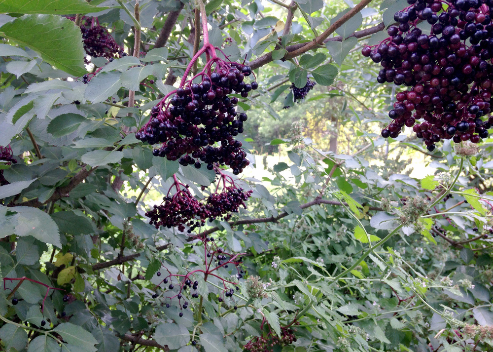 Elder-berries_0957.jpg
