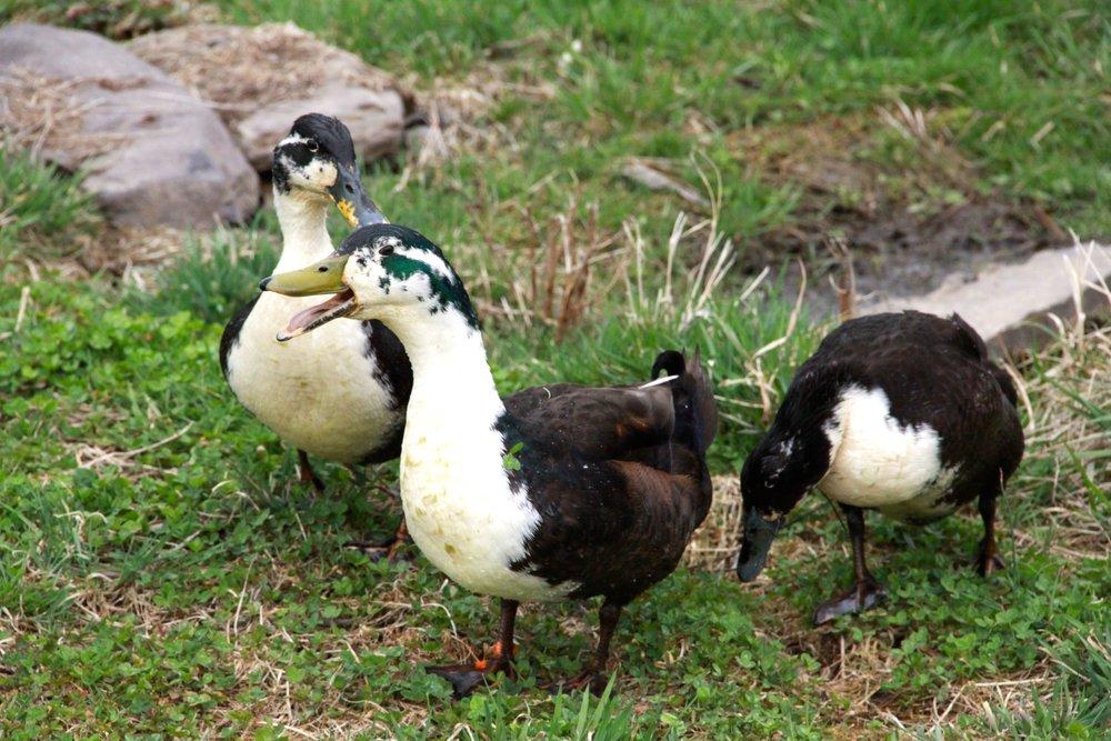 ducks-IMG_8699.jpg