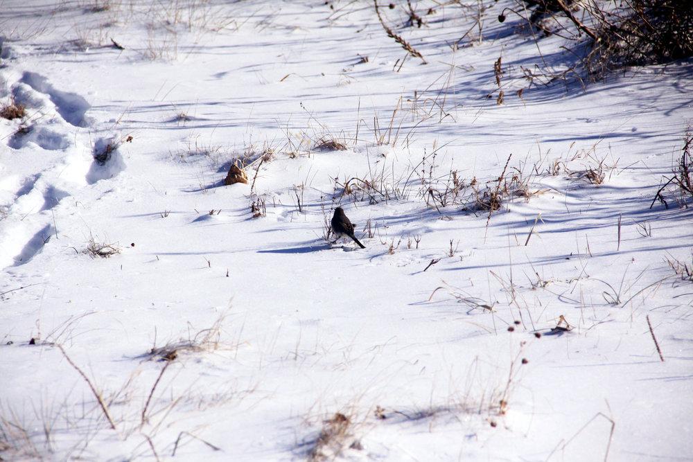 Snow-bird_1842.jpg