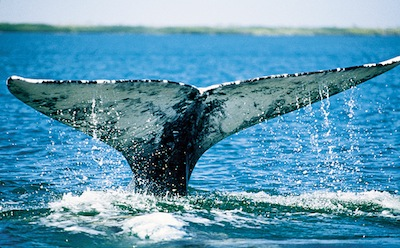 California Gray Whale, Monterey