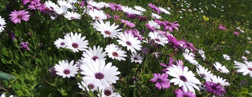 Spring Daisies.jpg